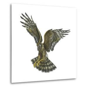 Marsh Hawk (Circus Cyaneus), Birds by Encyclopaedia Britannica