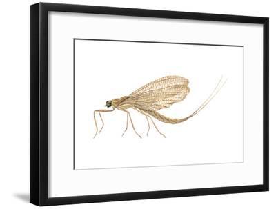 Mayfly (Hexagenia Bilineata), Insects