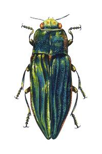 Metallic Wood-Boring Beetle (Buprestidae), Insects by Encyclopaedia Britannica