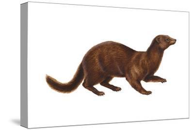 Mink (Mustela Vison), Mammals