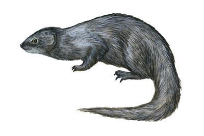 Mongoose (Herpestes Nyula), Mammals