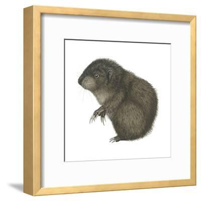 Mountain Beaver (Aplodontia Rufa), Mammals