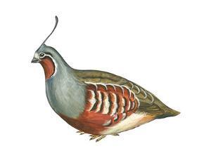 Mountain Quail (Oreortyx Pictus), Birds by Encyclopaedia Britannica