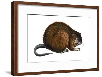 Muskrat (Ondatra Zibethica), Mammals