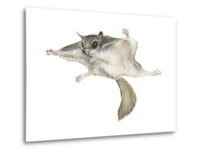 New World Flying Squirrel (Glaucomys), Mammals