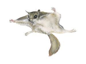 New World Flying Squirrel (Glaucomys), Mammals by Encyclopaedia Britannica