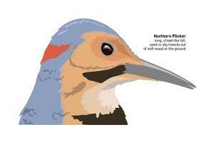 Northern Flicker (Colaptes Auratus), Birds by Encyclopaedia Britannica