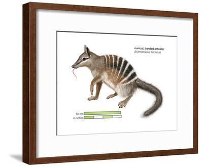 Numbat (Myrmecobius Fasciatus), Banded Anteater, Marsupial, Mammals