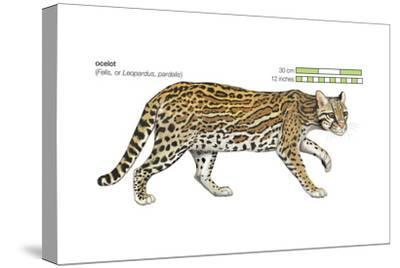 Ocelot (Felis or Lepardus, Pardalis), Cat, Mammals