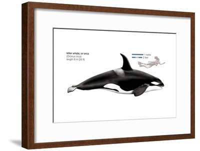 Orca or Killer Whale (Orcinus Orca), Mammals