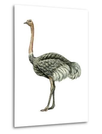 Ostrich (Struthio Camelus), Birds