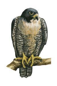 Peregrine Falcon (Falco Peregrinus), Duck Hawk, Birds by Encyclopaedia Britannica