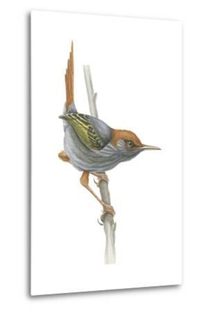 Philippine Tailorbird (Orthotomus Derbianus), Birds