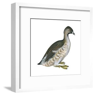 Pied-Billed Grebe (Podilymbus Podiceps), Birds