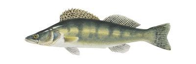 Pike-Perch (Sander Lucioperca), Fishes by Encyclopaedia Britannica