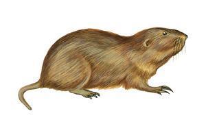 Plains Pocket Gopher (Geomys Bursarius), Mammals by Encyclopaedia Britannica