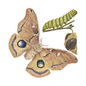 Polyphemus Moth and Caterpillar (Antheraea Polyphemus), Insects by Encyclopaedia Britannica
