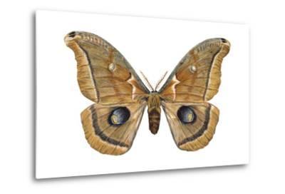 Polyphemus Moth (Telea Polyphemus), Insects