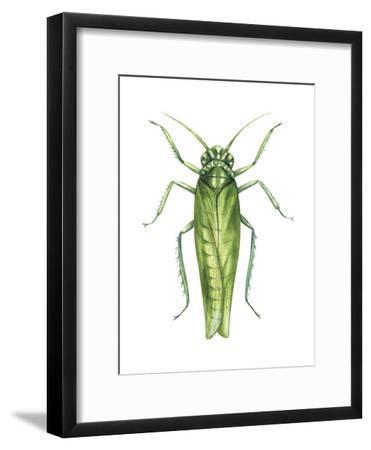 Potato Leafhopper (Empoasca Fabae), Insects