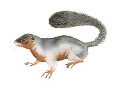 Prevost's Squirrel (Callosciurus Prevosti), Tricolored, Squirrel, Mammals