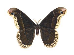 Promethea Moth (Callosamia Promethea), Insects by Encyclopaedia Britannica