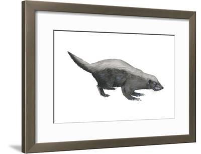 Ratel (Mellivora Capensis), Honey Badger, Weasel, Mammals