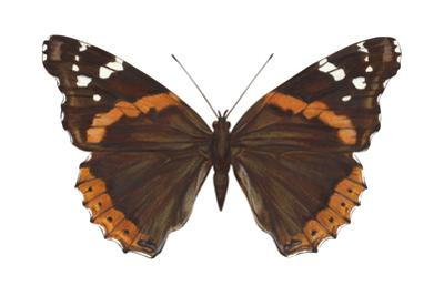 Red Admiral Butterfly (Vanessa Atalanta), Insects by Encyclopaedia Britannica