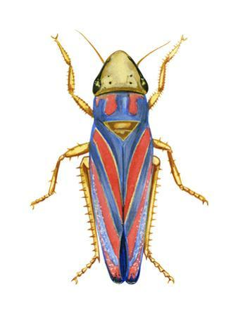 Red-Banded Leafhopper (Graphocephala Coccinea), Insects