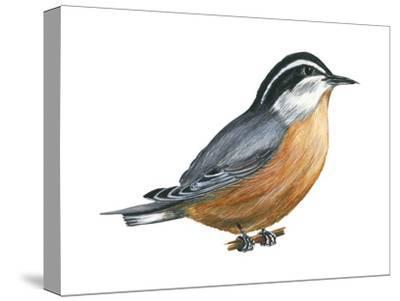 Red-Breasted Nuthatch (Sitta Canadensis), Birds