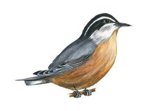 Red-Breasted Nuthatch (Sitta Canadensis), Birds by Encyclopaedia Britannica