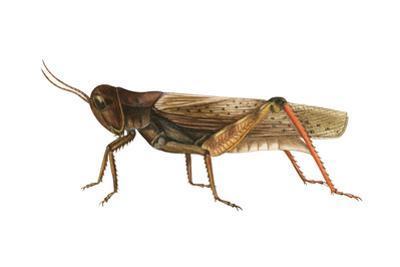 Red-Legged Grasshopper (Melanoplus Femur-Rubrum), Insects