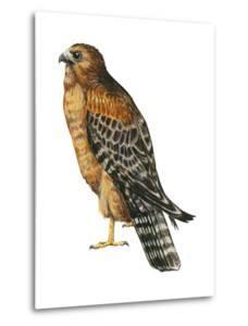 Red-Shouldered Hawk (Buteo Lineatus), Birds by Encyclopaedia Britannica