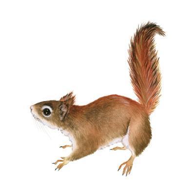 Red Squirrel (Sciurus Vulgaris), Mammals
