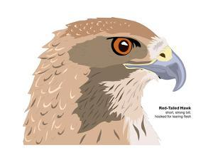 Red-Tailed Hawk (Buteo Jamaicensis), Birds by Encyclopaedia Britannica