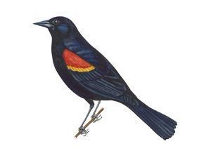 Red-Winged Blackbird (Agelaius Phoeniceus), Birds by Encyclopaedia Britannica
