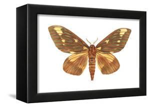 Regal Moth (Citheronia Regalis), Insects by Encyclopaedia Britannica