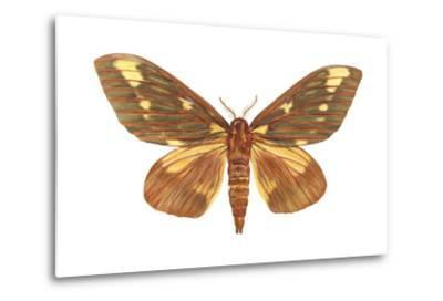Regal Moth (Citheronia Regalis), Insects