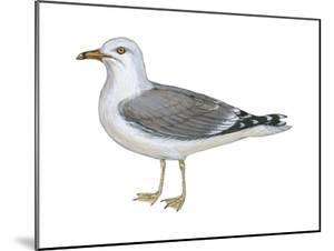Ring-Billed Gull (Larus Delawarensis), Birds by Encyclopaedia Britannica