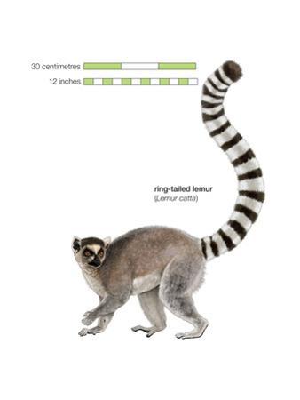 Ring-Tailed Lemur (Lemur Catta), Mammals