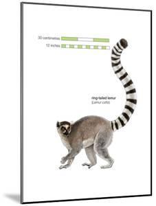 Ring-Tailed Lemur (Lemur Catta), Mammals by Encyclopaedia Britannica