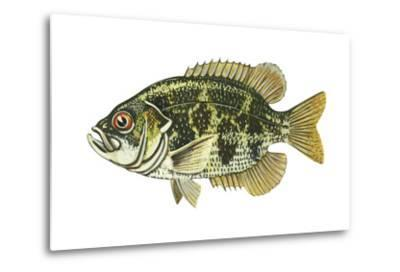 Rock Bass (Ambloplites Rupenstris), Fishes