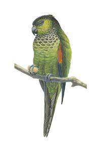 Rock Parakeet (Pyrrhura Rupicola), Birds by Encyclopaedia Britannica