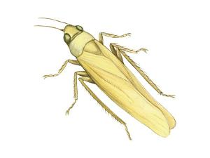 Rose Leafhopper (Typhlocyba Rosae), Insects by Encyclopaedia Britannica