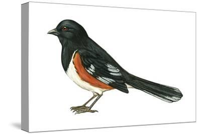 Rufous-Sided Towhee (Pipilo Erythrophthalmus), Birds