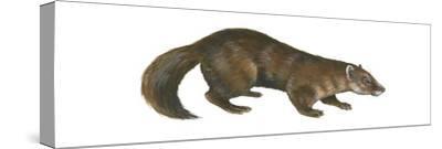 Sable (Martes Zibellina), Weasel, Mammals