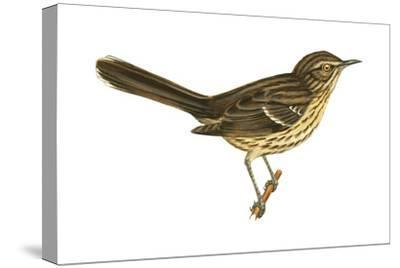 Sage Thrasher (Oreoscoptes Montanus), Birds