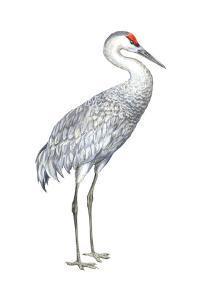Sandhill Crane (Grus Canadensis), Birds by Encyclopaedia Britannica