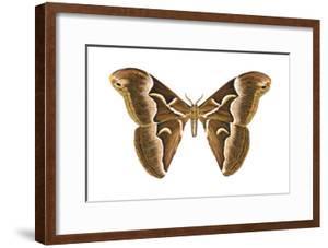 Saturniid Moth (Cynthia Moth) (Samia Walkeri), Insects by Encyclopaedia Britannica