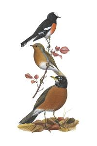 Scarlet Robin, European Robin, American Robin by Encyclopaedia Britannica