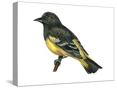 Scott's Oriole (Icterus Parisorum), Birds